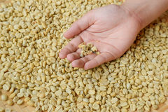 Selection coffee beans  by hand. Sorting Coffee Beans , Selection coffee beans  by hand Royalty Free Stock Photos