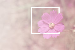 Selection focus soft cosmos flowers Royalty Free Stock Photo