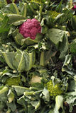 Selection of fresh cauliflowers. Of different type and colour Stock Photography