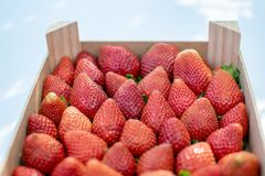 Freshly picked strawberries in a box royalty free stock image