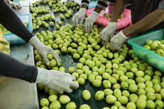 Selection of monkey apple. (Indian jujube Royalty Free Stock Images