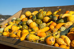 Selection of Pumkins Stock Photo