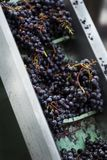 Harvest in a French winery near Bordeaux. A selection of red grapes after harvesting royalty free stock photography