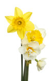 Daffodil selection Stock Images