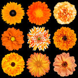 Selection of Various Orange Flowers Isolated Royalty Free Stock Image
