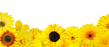 Selection of Yellow Flowers at Bottom Row Isolated. On White. Various set of Dahlia, Dandelion, Daisy, Gerber, Sunflower, Marigold Flowers royalty free stock image