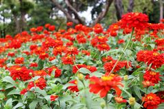 Beautiful red zinnia elegant flowers on green leaves and blur wonderful flowers. Selective Close Up Beautiful Red Zinnia Elegans Flowers on green leaves and blur Stock Photo