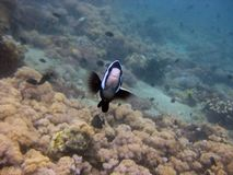 Selective closeup shot of a black and white fish among coral reefs