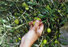 Selective collection of olives in the olive grove Stock Image