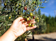 Selective collection of olives in the olive grove Stock Photography