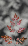 Selective color, abstract shot of a leaf with black and white background.  Stock Photography