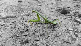 Selective Color Carolina Mantis Royalty Free Stock Image