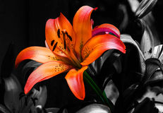 Selective color image of lillies. Royalty Free Stock Photography