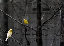 Selective Color Photo of 2 Yellow and White Bird on Bare Tree Stock Photography