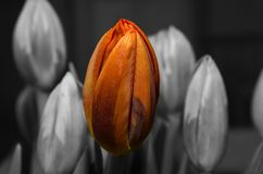 Selective Color Photography of Orange Tulip Royalty Free Stock Photo