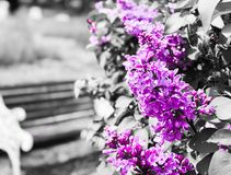 Selective Color Purple Flowers Only royalty free stock image