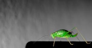 Selective  Cricket. Cricket, Grasshopper indoor Selective color Royalty Free Stock Image