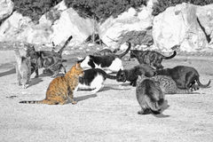Selective desaturation of a group of wild cats eating Royalty Free Stock Image