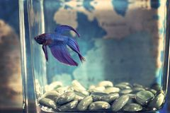 Selective Focis Photo of Blue Betta Fish royalty free stock images
