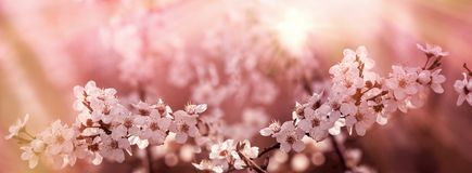 Selective focus on beautiful flowering, blooming fruit tree lit by sun rays. Beautiful nature in spring springtime Royalty Free Stock Photos