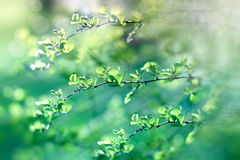 Selective focus on beautiful fresh spring leaves Royalty Free Stock Photography