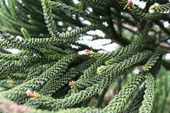 Selective focus of beautiful green branch pine xmas tree with blur background Christmas background concept and bokeh. Selective focus of beautiful green branch Royalty Free Stock Photos