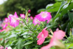 Selective focus beautiful pink flowers on green garden in sunny light at natural park. In Bangkok Thailand Royalty Free Stock Photos