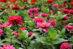 Selective Focus Beautiful Pink and Magenta Zinnia Elegans Flowers on wonderful flowers background in the garden for Background Royalty Free Stock Photography