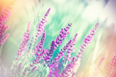 Selective focus on beautiful purple flowers in meadow Royalty Free Stock Images