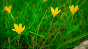 Selective focus. Beautiful yellow rain lily / lotus soil in the garden after raining Stock Image