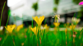 Selective focus. Beautiful yellow rain lily / lotus soil in the garden after raining Stock Photo