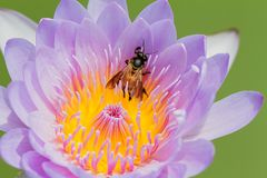 Selective focus of bee on purple lotus blooming flower. On blurred garden background Royalty Free Stock Photo