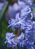 Blue Hyacinth Flowers stock photo