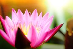 Selective focus on blooming pink lotus flower natural background. Lotus leaf, Lily Pad with copy space. lotus meaning and symbolism in Hinduism, Buddhism royalty free stock photo