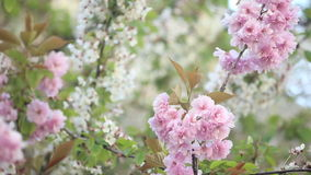 Selective focus on blooming tree branches stock footage