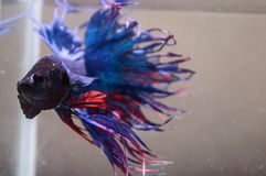 Selective focus blue fin and tail of siamese fighting fish Stock Images
