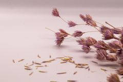 Selective focus bouquet of dried flowers on white background.Blurred and soft grass flower. royalty free stock photography