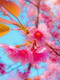 Selective focus Branch of Himalayan Cherry Blossom , also call sakura pink color with blue sky background. Stock Photos
