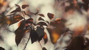 Selective focus on a branch of prunus pisardi moved by the wind at sunset stock video