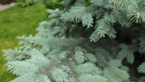Selective focus on branches of blue spruce in the park. stock footage