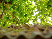 Selective focus of bright sky and Indian Almond tree`s branches with green leaves with defocus old grungy roof Royalty Free Stock Images