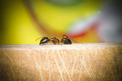 Selective focus at brown ant on wooden. Selective focus and close up at brown ant on wooden, macro, on color background Royalty Free Stock Images