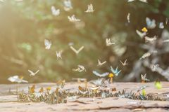 Selective focus Butterflies on the ground and flying in nature background.Blurred Tailed Jay butterflies. royalty free stock images