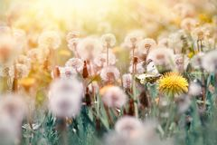 Selective focus on butterfly and dandelion flower. Beautiful nature in spring Royalty Free Stock Photos