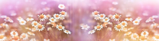 Selective focus on chamomile in meadow lit by sunlight - beautiful spring flowering. Selective focus on chamomile in meadow lit by sunlight beautiful spring Stock Images