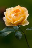 Selective Focus, Close up, Orange Rose by Night Royalty Free Stock Photos