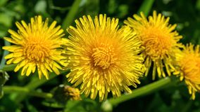 Selective focus close-up photography. yellow dandelion in the gr Stock Images