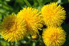 Selective focus close-up photography. yellow dandelion in the gr Stock Image