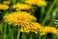 Selective focus close-up photography. yellow dandelion in the gr Stock Photography
