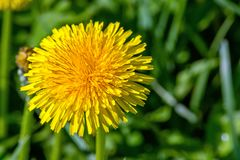 Selective focus close-up photography. yellow dandelion in the gr Royalty Free Stock Image